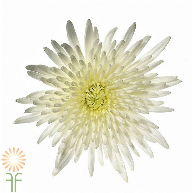 Buy the freshest white spider mums available for weddings