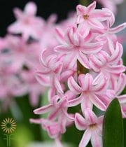Light Pink Hyacinth