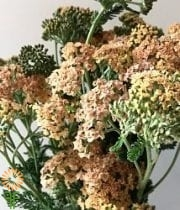 Yarrow, Cottage-peach