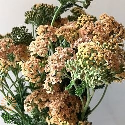 wholesale flowers | yarrow peach