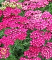 Yarrow, Cottage-hot Pink