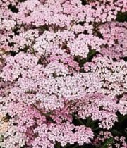 Light Pink Cottage Yarrow