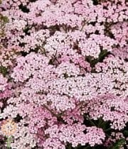 Yarrow, Cottage-light Pink