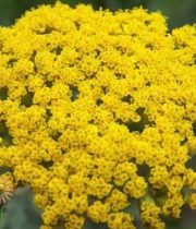 Yellow Cottage Yarrow