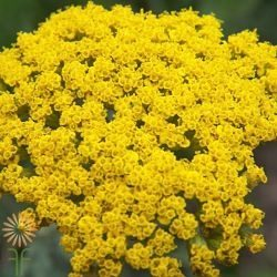 wholesale flowers | yarrow yellow