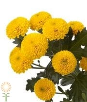 Mums, Spray-Button-yellow