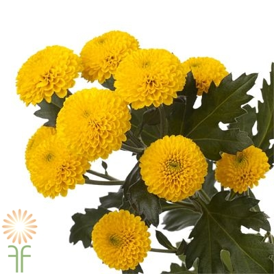 wholesale flowers | spray mums- button yellow