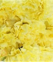 Carnations, Mini-yellow