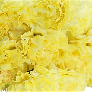 wholesale carnation yellow