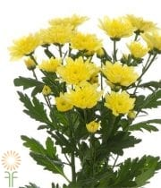 Mums, Spray-Cushion-yellow