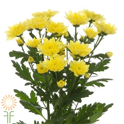 wholesale flowers | spray mums- cushion yellow