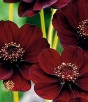 Cosmos, Chocolate-burgundy