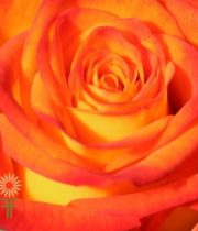 Orange And Yellow Circus Roses