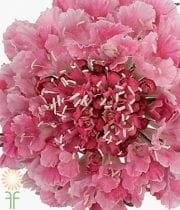 Pink Cotton Candy Scoop Scabiosa