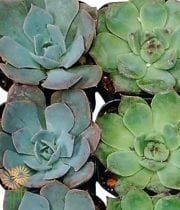 Succulents, Medium 3-4″