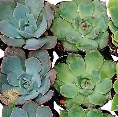wholesale flowers | succulents medium