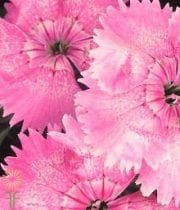 Sweet William-light Pink