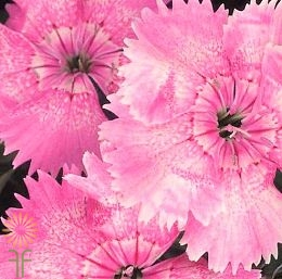 wholesale flowers | Sweet William light pink
