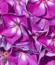 Sweet William-purple