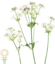 Astrantia-white