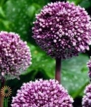 Allium, Summer Drummer-purple