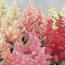 wholesale astilbe assorted