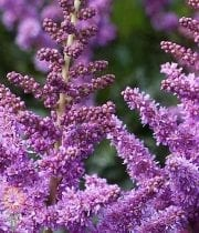 Purple Astilbe