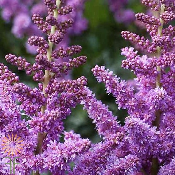 ASTILBE-PURPLE wholesale