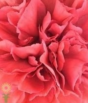 Carnations, Specialty-Azafran-dark Coral/rust