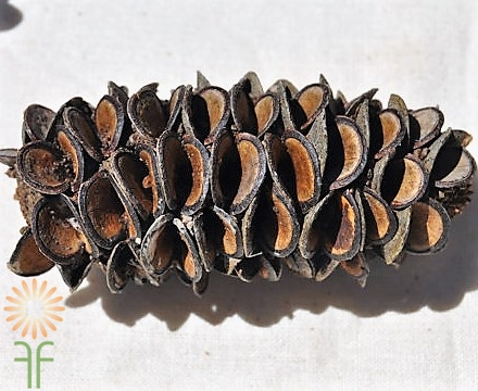 BANKSIA-POD wholesale