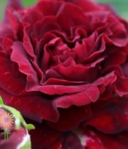 Red Butterfly Sensation Garden Spray Roses