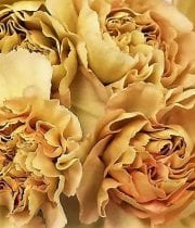 Beige Bicolor Specialty Putumayo Carnations