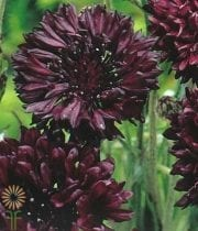 Cornflower-chocolate
