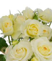 Cream Clair De Lune Garden Spray Roses