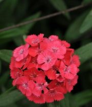 Coral Sweet William
