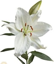 White Crystal Blanca Oriental Lily
