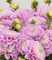 Dahlias, Field-pink/white
