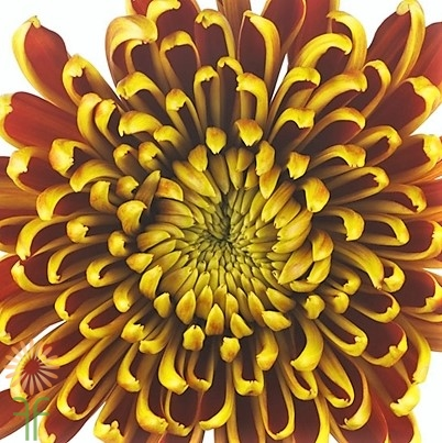 wholesale flowers | mums- cremone bronze