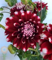Red And White Field Dahlias
