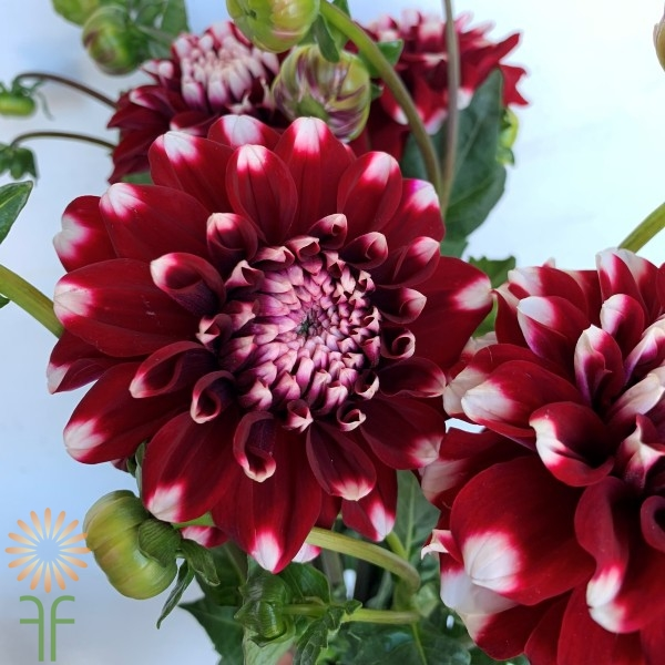 Dahlia Field Red & White