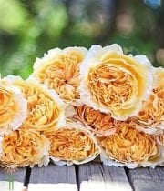 Yellow-Gold Beatrice Garden Roses