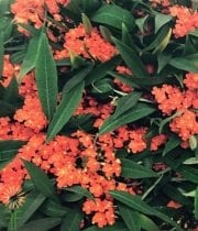 Orange Fulgens Euphorbia