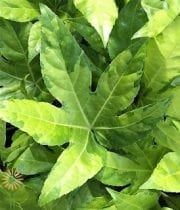 Variegated Fatsia Leaves