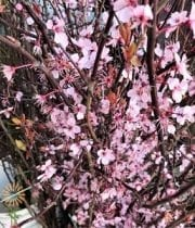 Pink Flowering Cherry Branches