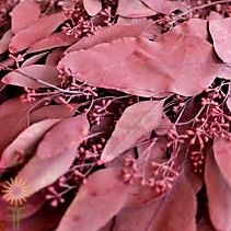 eucalyptus wholesale-BURGUNDY-SEEDED
