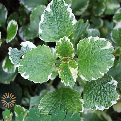 MINT-VARIEGATED