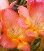 Coral/Peach Freesias