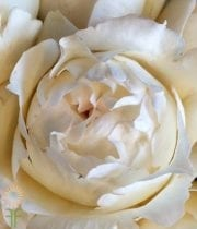 Wholesale Flowers | Garden Rose Cream Piaget