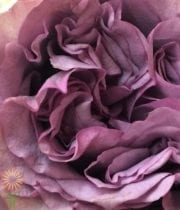 Lavender Dolcetto Garden Roses