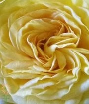 Rose, Garden CA-Lemon Pompon-yellow